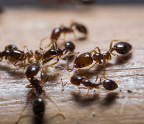 ants walking across a wooden surface
