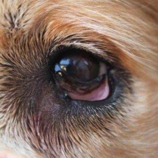 Come fasciare un occhio a cani, come fasciare un occhio, occhio con irritazione