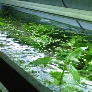piante acquatiche, piante non infestanti, piante esotiche