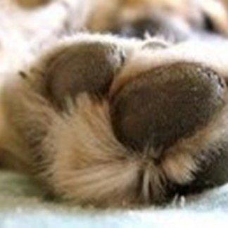Come eliminare un corpo estraneo dalle zampe, intervento chirurgico, zame cani
