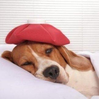 come misurare la febbre a cani e gatti, febbre da cani, infezioni cane