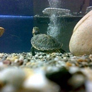 tartarughine acquatiche, animali esotici, animali comuni