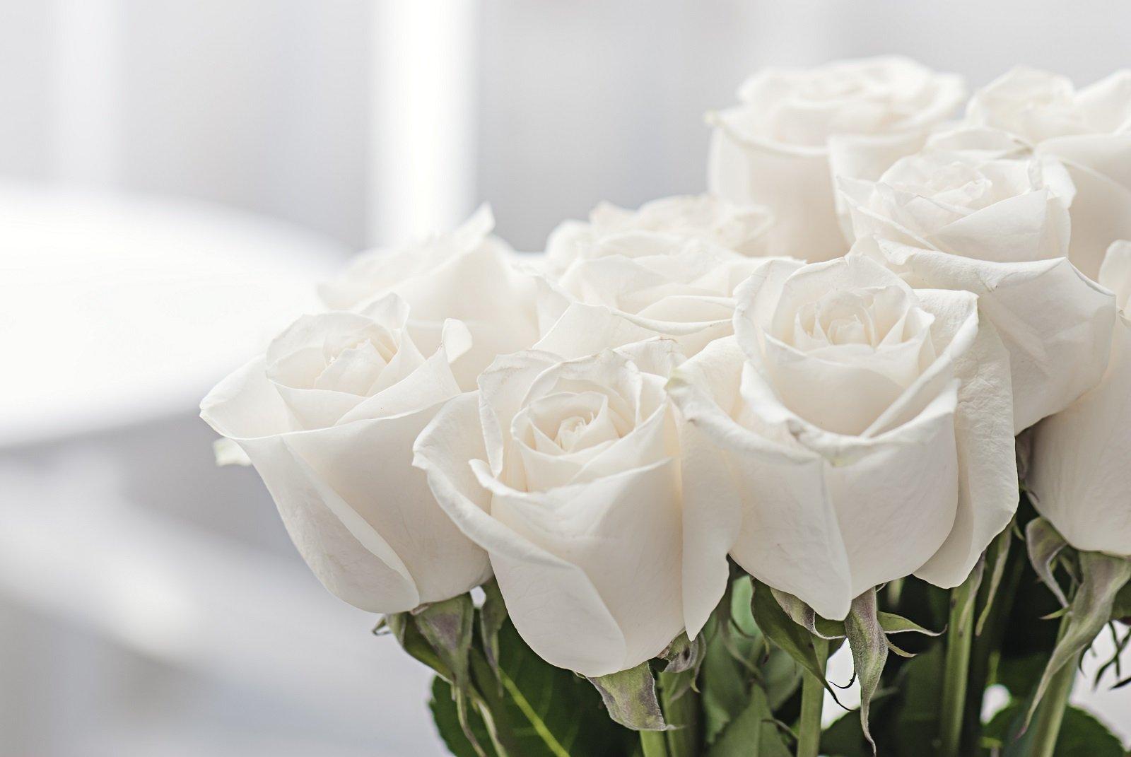 delle rose bianche