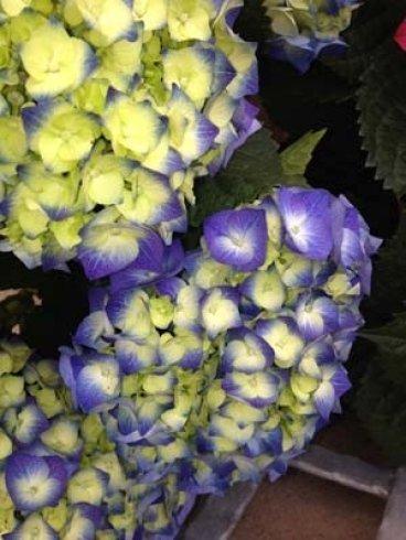 delle ortensie viola e gialle