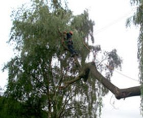 Dismantling a large Willow tree over valves and pumping gear at a sewage treatment plant