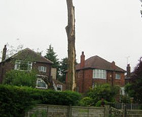 Dismantling a Lombardy poplar tree that had been struck by lightning