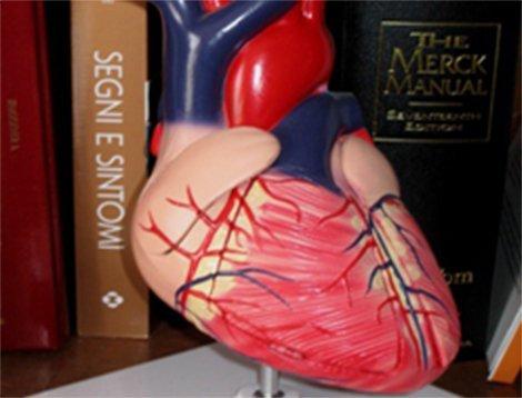 modellino di plastica di un cuore umano