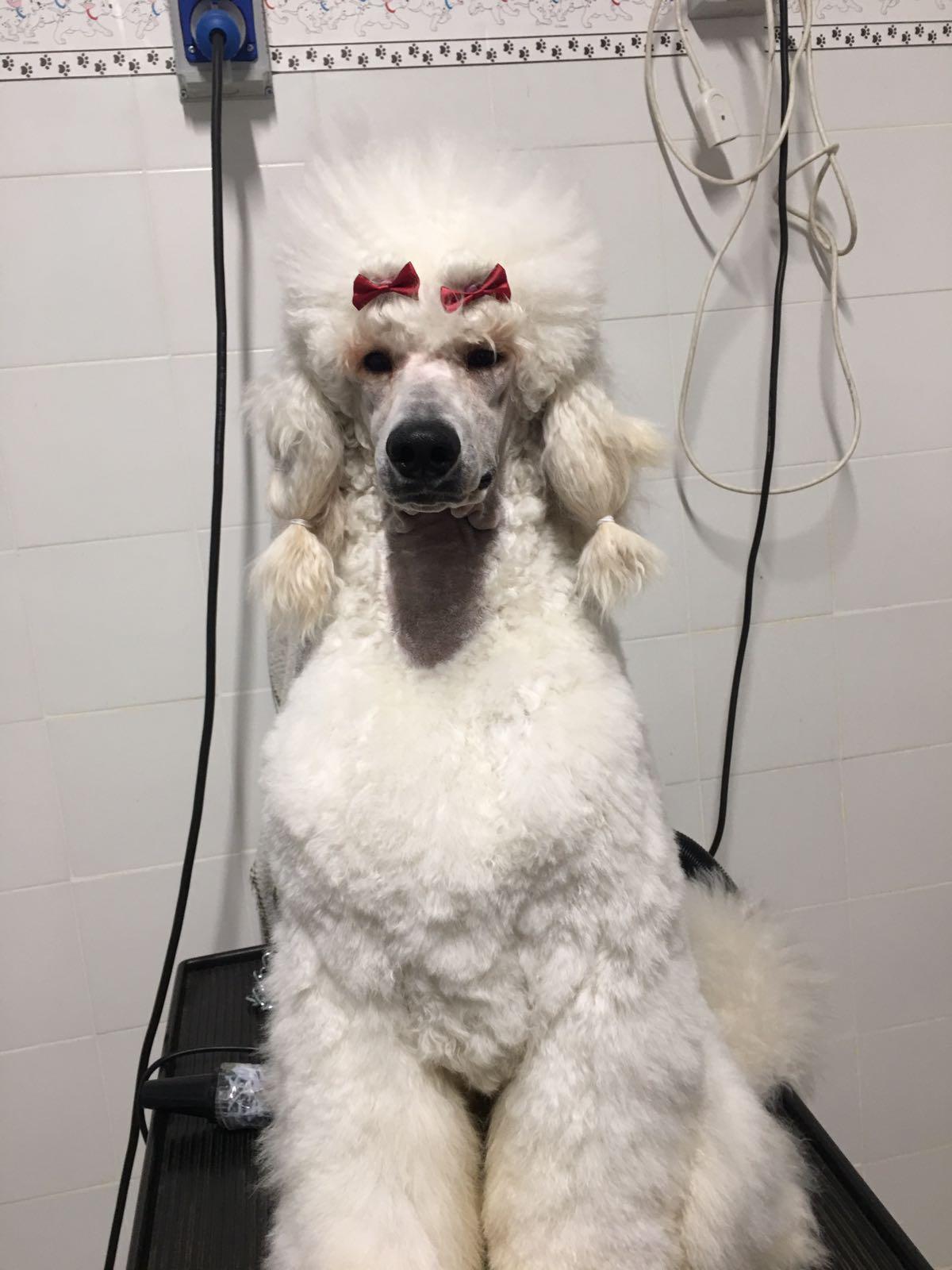 Un cane di razza barboncino mentre è seduto su una struttura in ferro per toelettatura