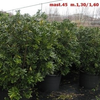 Pittosporum Tobira in mast.45