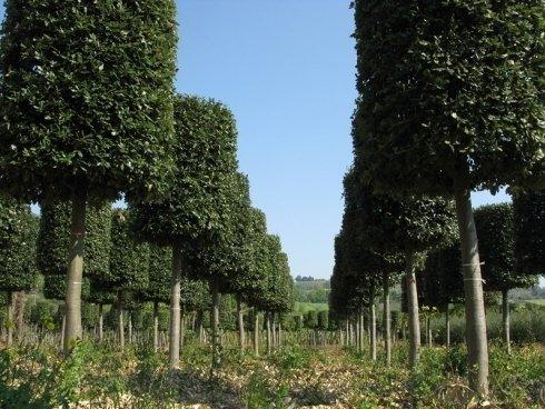Quercus Ilex ad alto fusto