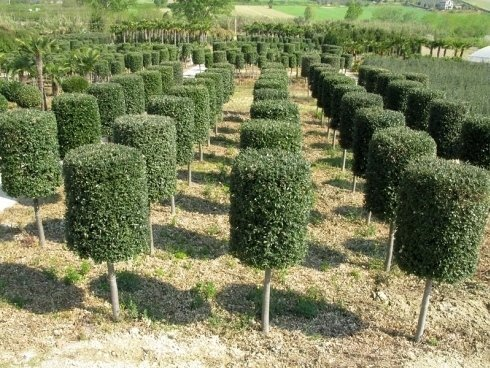 Quercus Ilex alto fusto