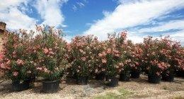 Nerium Oleander in mastello 220 litri - Tito Poggi