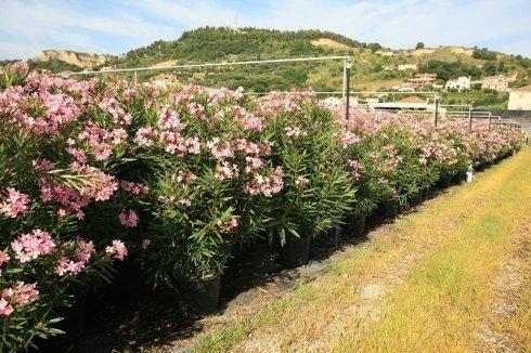 Nerium Oleander cespuglio