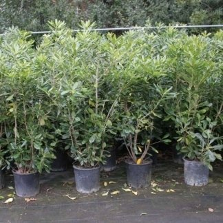 Pittosporum Tobira in vaso 20
