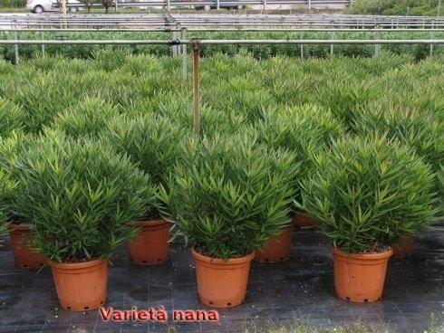 Oleandro varietà nana