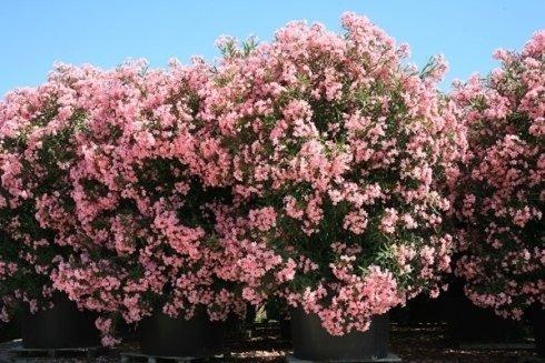 Nerium Oleander in mastello 750 litri
