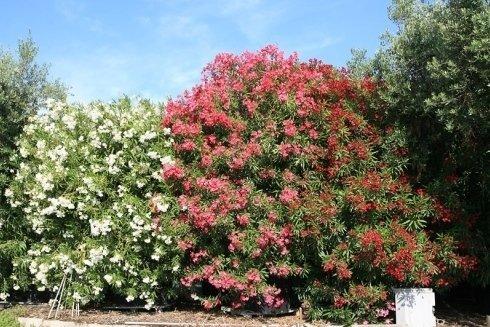 Nerium Oleander in mastelli 750 litri