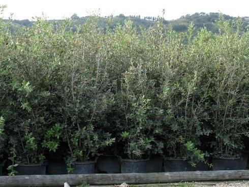 Quercus Ilex cespuglio