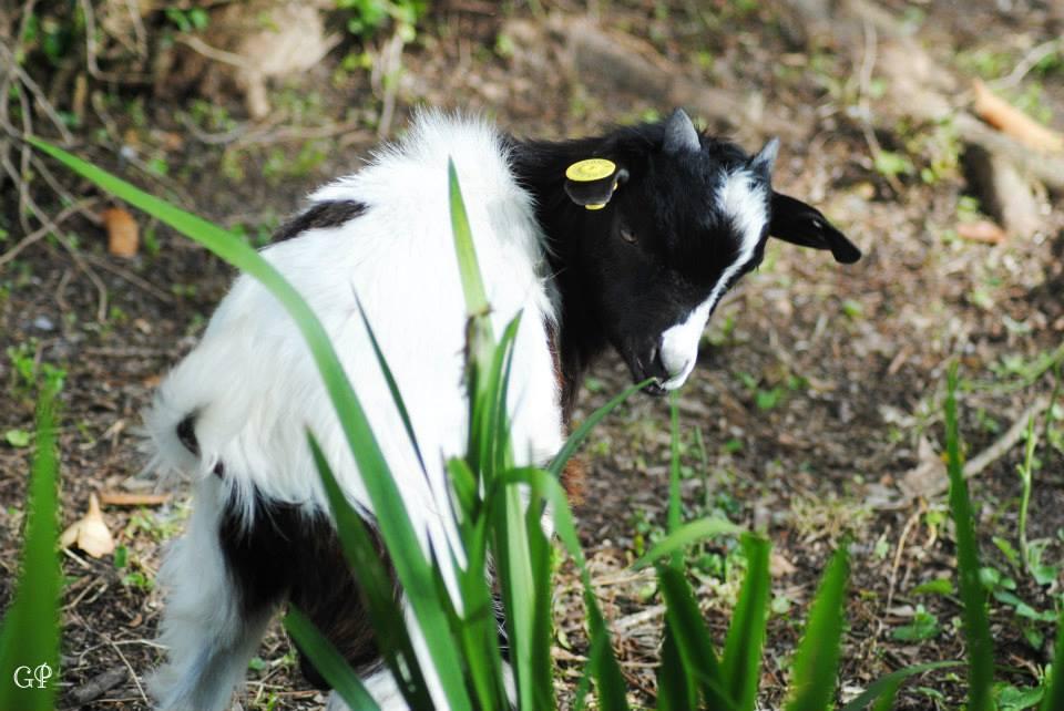 capra bianca e nera