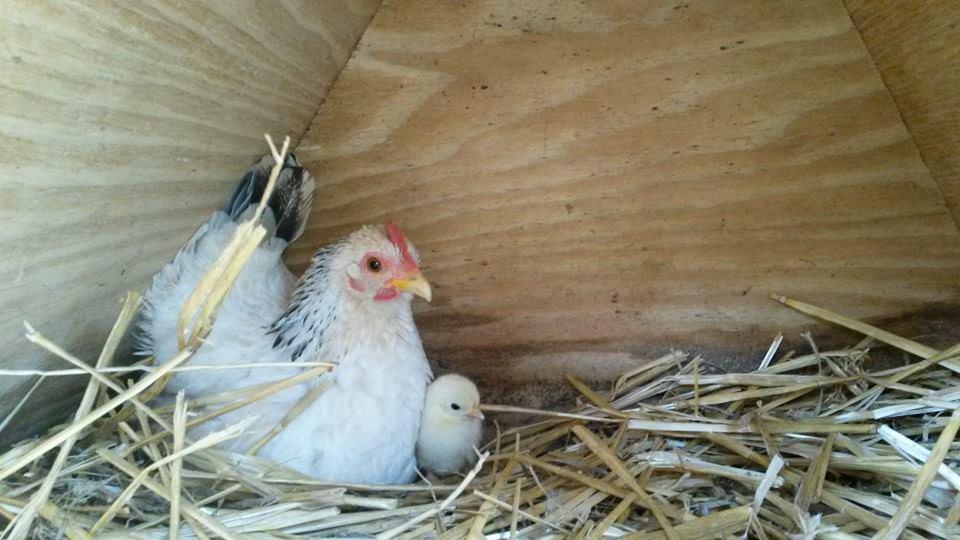 gallina e pulcino
