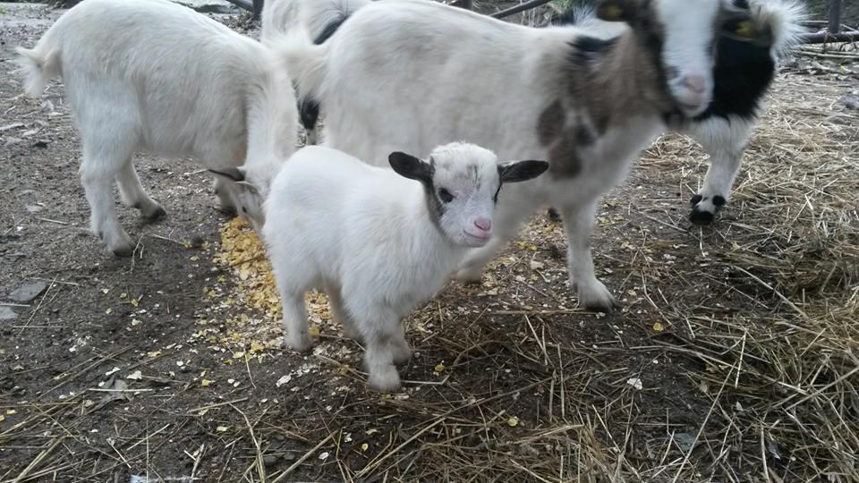 piccola capra bianca