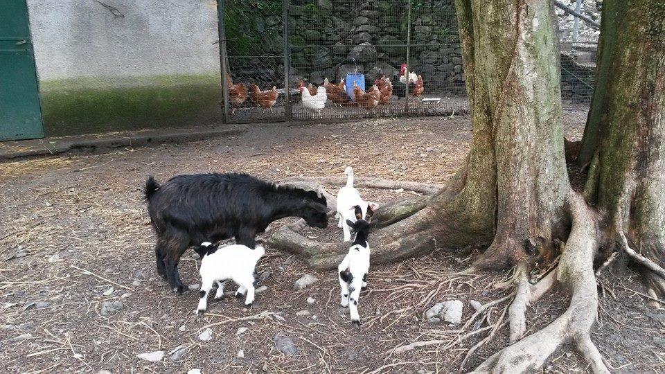 capre bianche e nere