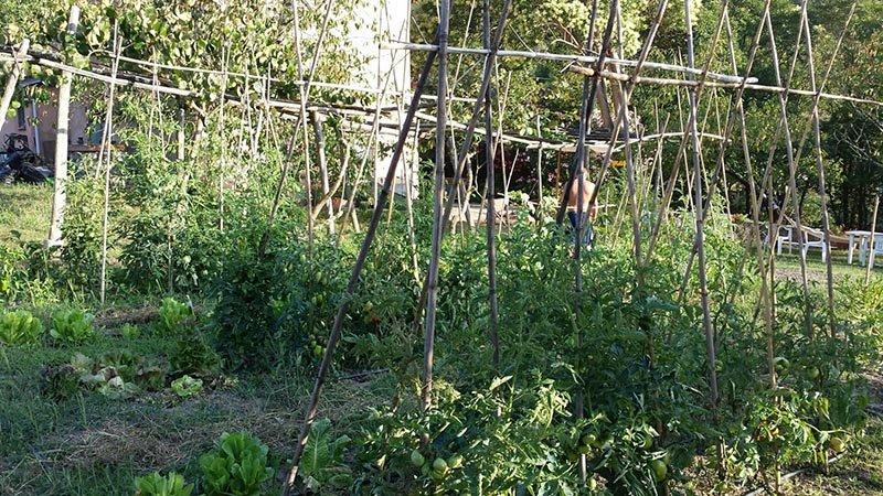 piante di fagiolini