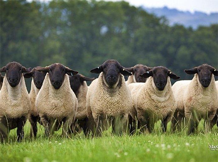 Suffolk and Hampshire Sheep