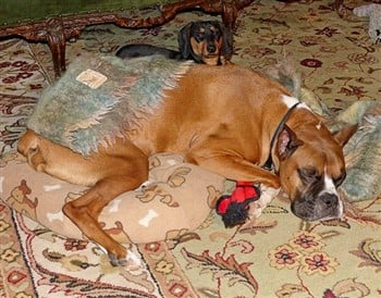 boxer-dog-at-shelter