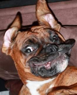 Boxer dog looks crazy