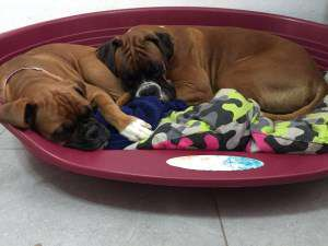 Boxer dogs taking a nap