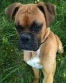 Purebred Boxer puppy