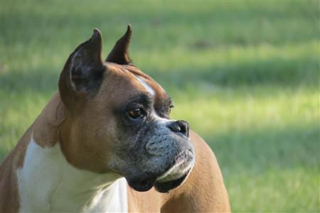 11 year old male Boxer, ear set