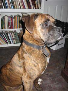 15 year old male Boxer in Texas