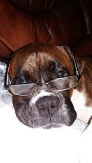 Boxer dog wearing glasses
