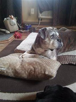 male Boxer dog 14 years old