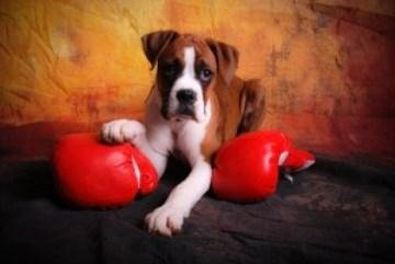What to feed Boxer dog