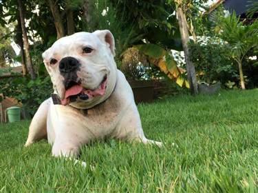 7 year old white Boxer dog