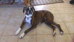 Boxer dog on kitchen floor