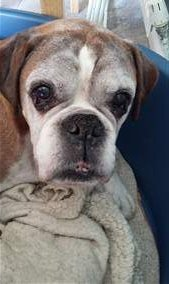 14 year old male Boxer dog