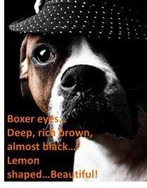 Boxer dog eyes