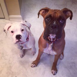 two Boxer dogs, puppy and adult