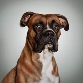 Handsome Boxer dog