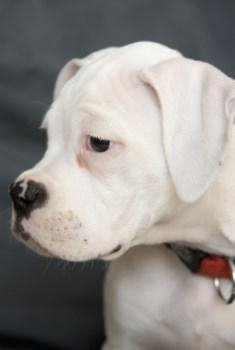 All white Boxer puppy