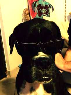 black Boxer dog with white flash