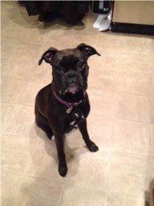 Boxer dog dark brindle white patch