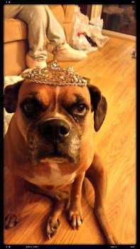 10 year old Boxer dog