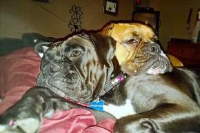 Boxer dogs resting