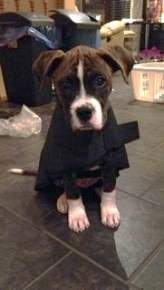 Boxer puppy with coat
