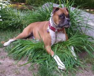 Boxer dog in patch of grass